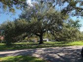 Green Gables All About Trees January 2020 - Live Oak