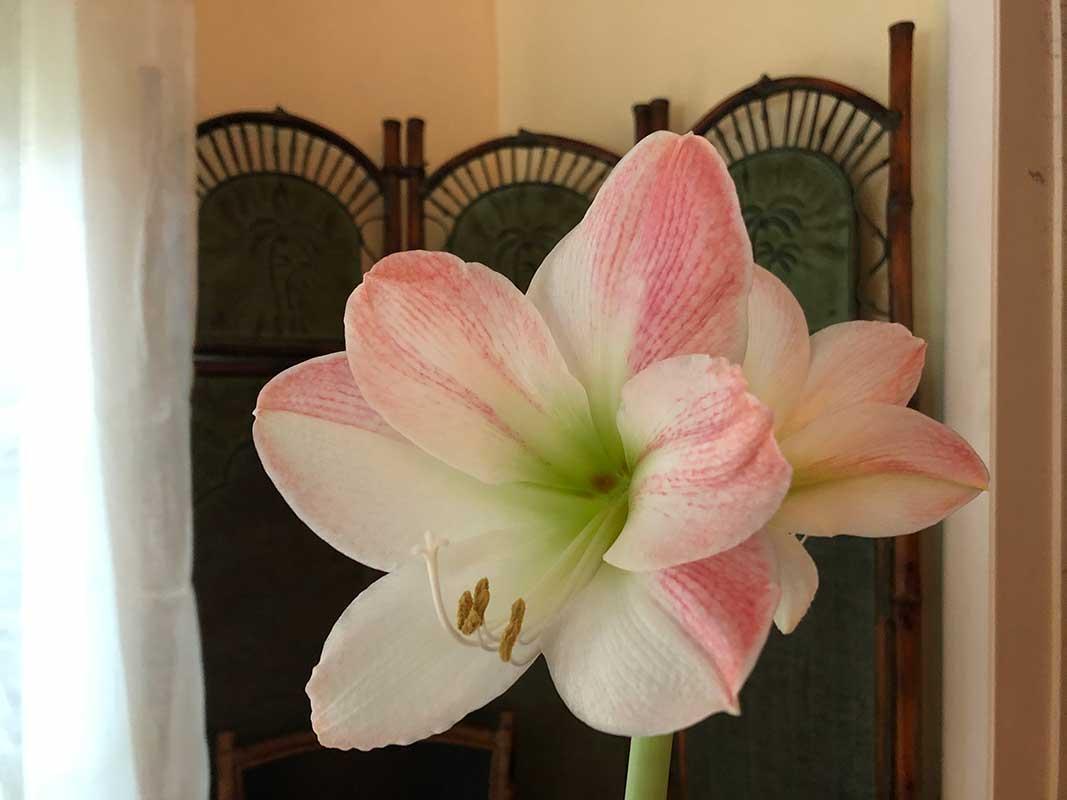 Apple Blossom Amaryllis