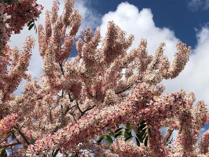 Apple Blossom Cassia