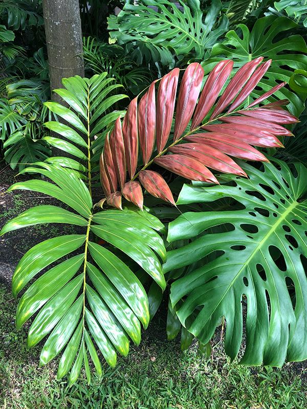 Chambeyronia-macrocarpa