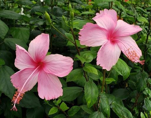 CGGC-club-flower-Hibiscus-rosa-sinensis