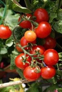 Cherry tomatoes on the vine.