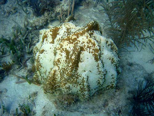 Coral colony showing signs of coral bleaching