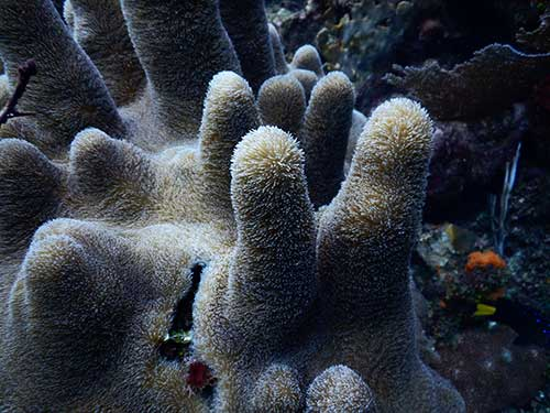 Colony of pillar coral