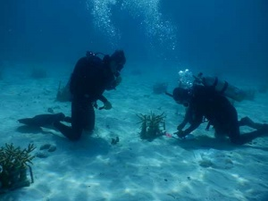 University of Miami divers measuring corals grown at a UM underwater nursery