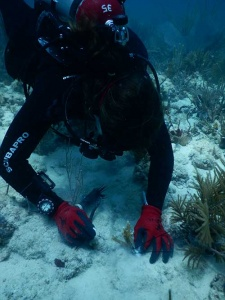 University of Miami diver planting a staghorn coral using nails and plastic cable ties