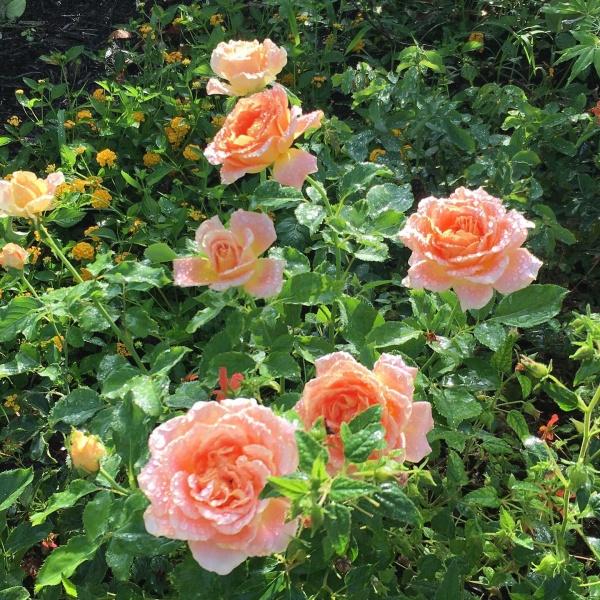 Flo Nelson Rose