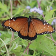Linda Waldron June 2021 Green Gables article butterfly feature image