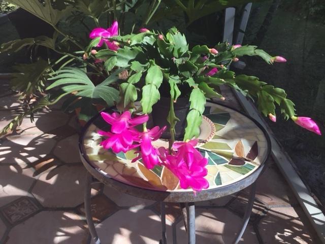 Christmas Cactus grown by Margaret Serroppian