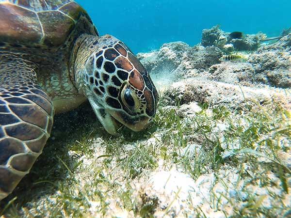 Keeping our Beautiful Bay Beautiful - Turtle