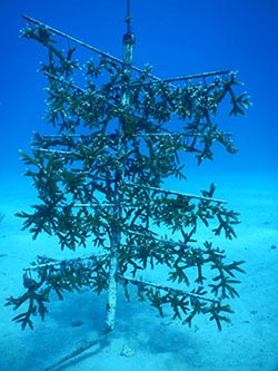 PVC tree used to grow 100 corals for restoration at the University of Miami underwater nursery
