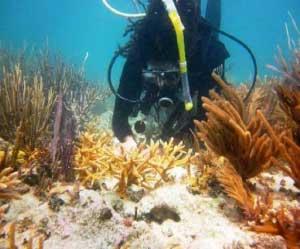UM student planting a nursery-grown staghorn coral.