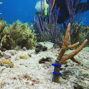 Small coral colony planted onto a Miami reef.