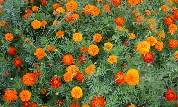 Marigolds are great for the vegetable garden.