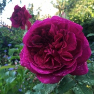 Munstead wood rose: copyright by Victor Lazzari