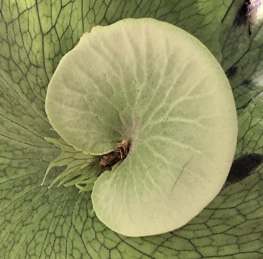 Platycerium Wandae