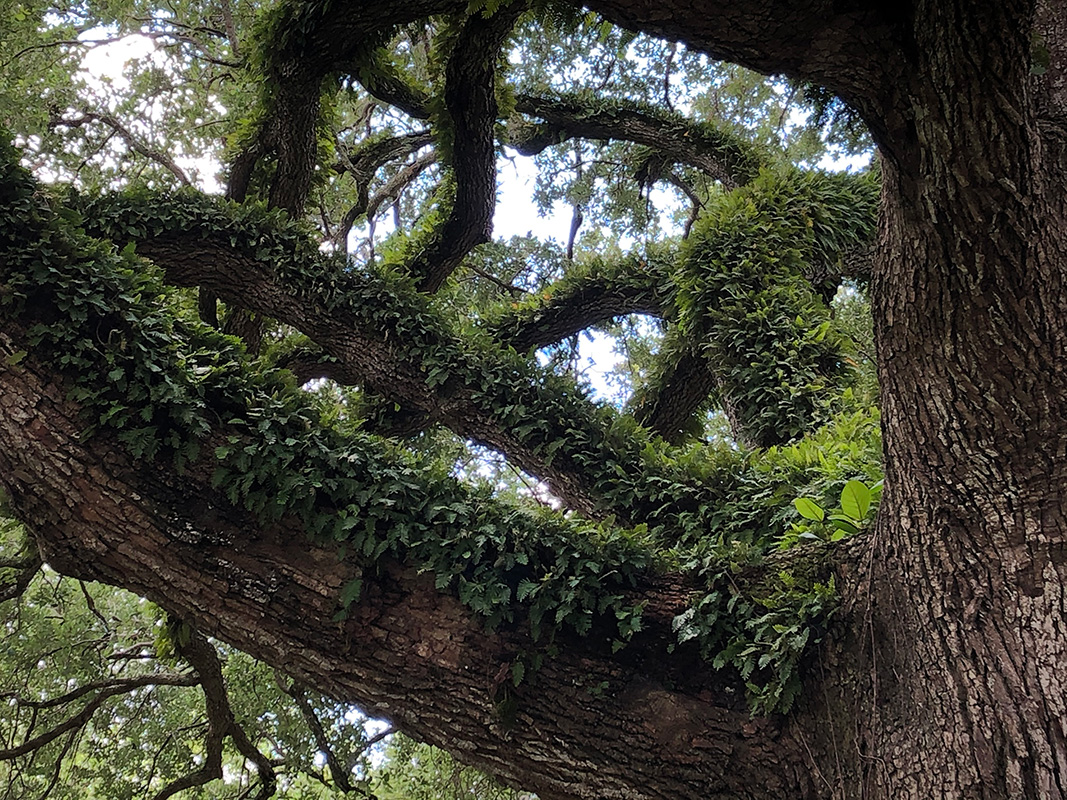 Pleopeltis polypodioides on Mahogany trees
