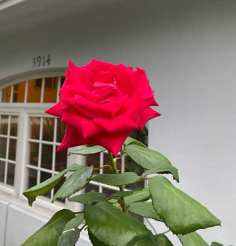 R-01-Rose-Mr Lincoln