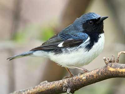 Male Black Throated Blue Warbler