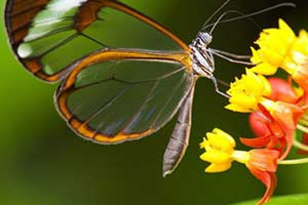 transparent butterfly on milkweed-feature