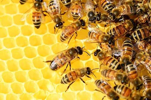 hothouse-pollinators-bees